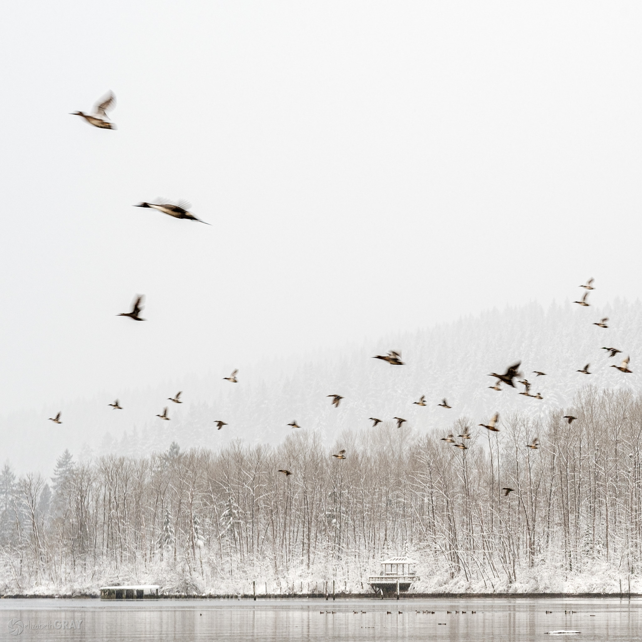 Snowy Northern Pintails