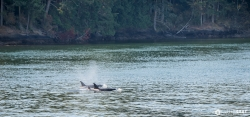 Orcas Near Active Pass