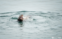 Sea Lion with Catch