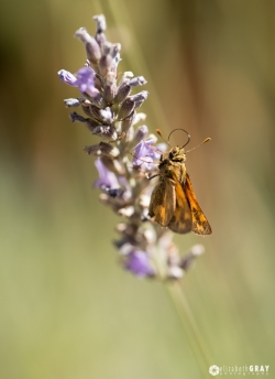 Lavender and Moth