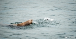 Sea Lion Fishing