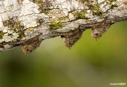 Bats Snoozing