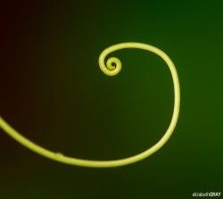 Curled Fern