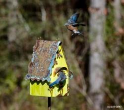 Blue Bird 3 - I'm Home Honey