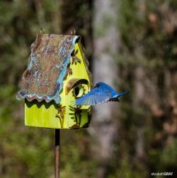 Blue Bird 5 - Coming Home!