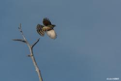 Cooper's Hawk Flight