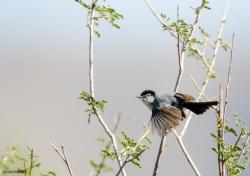 Black-tailed Gnatcatcher
