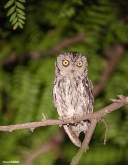 Western Screach Owl