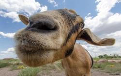Goat Kiss