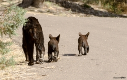 Mum and Two Cubs