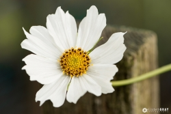 Cosmos on Fence