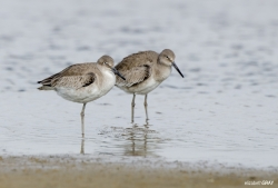 Pair of Willets