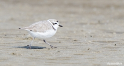 Snowy Plover on the Move