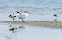 Pair of Terns