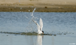 Forster's Tern Diving