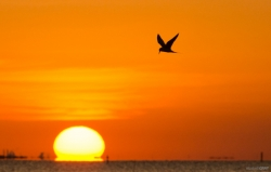 Forster's Tern at Sunset