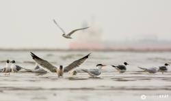 Laughing Gull and Caspian Tern