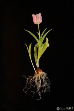 Naked Tulip