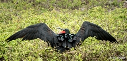 Frigate Bird Showing Off
