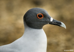 Swallow-Tailed Gull Portrait