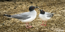 Swallow-Tailed Gull Pail