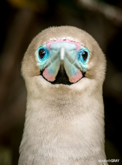 Red-footed Booby Portrait