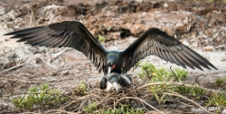 Mating Frigate Birds