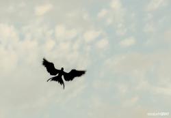 Frigate Bird Hover