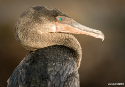 Flightless Cormorant Portrait