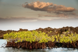 Mangrove Sunrise