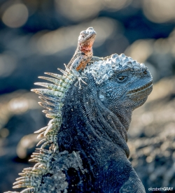 Marine Iguana and Lava Lizard