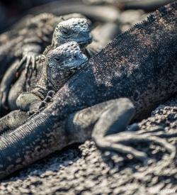 Marine Iguana's Lounging