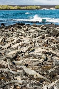 Millions of Marine Iguanas