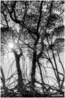 Mangrove Sunburst