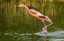 American Flamingo Take-Off