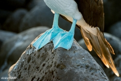 Blue-footed Booby Feet