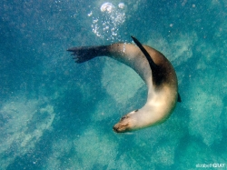 Sea Lion U-Turn