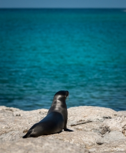 Sea Lion Looking Out