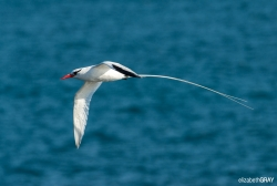 Red-billed Tropic Bird