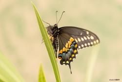 Black Swallow Tail 1