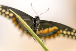 Black Swallow Tail 2