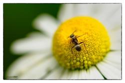 Daisy and Ant