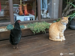 Cat and Rooster