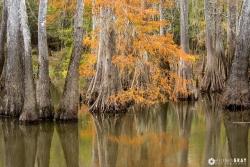 Fall Cypress Reflection