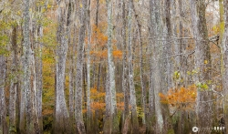 Fall Cypress Forest