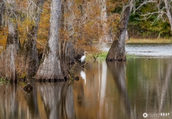 Great Egret Fishing in the Fall