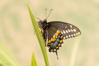Black Swallow Tail