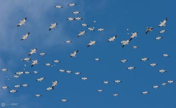 Blue Sky Snow Geese