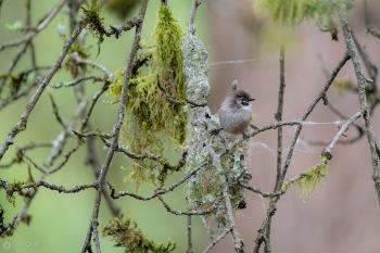 Bushtit Nesting
