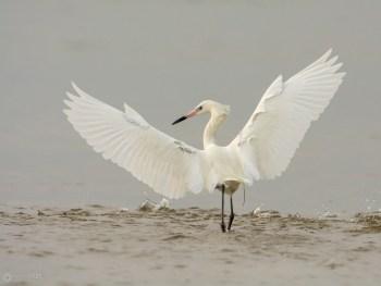Dance of the White Morph Reddish Egret